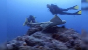 Angel Shark Attacks Diver