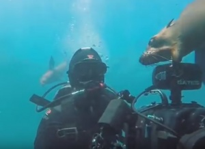 Seal Attacks Diver