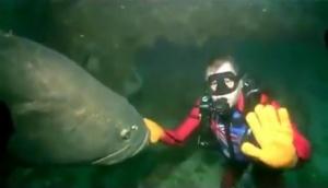 Massive fish bites diver