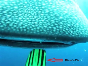 Whale Shark Chase