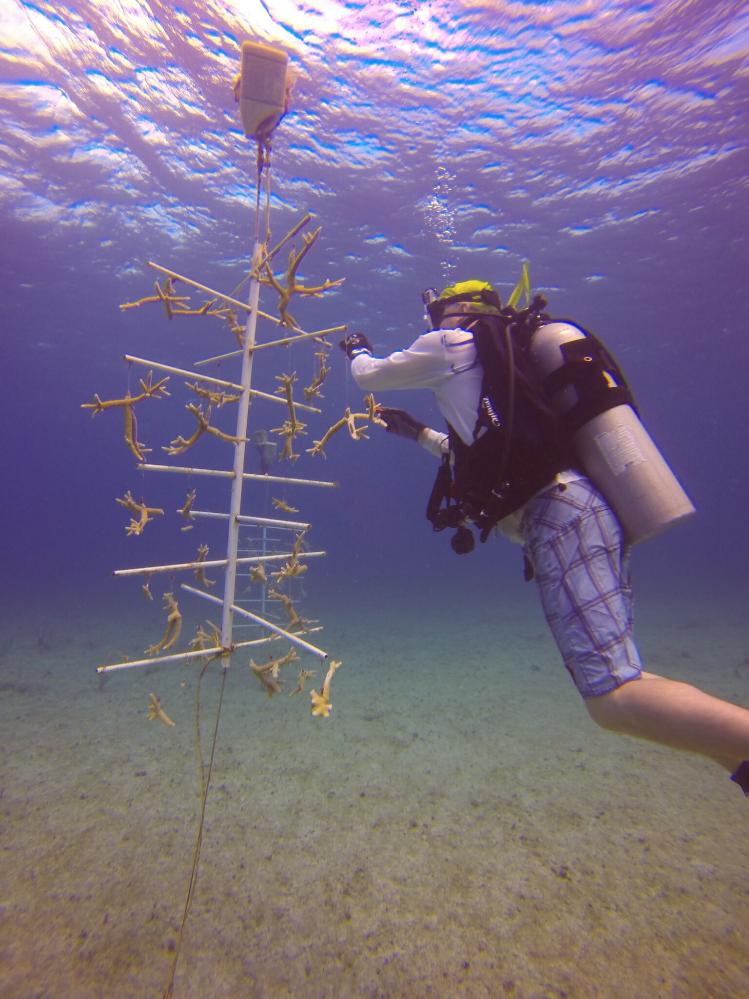 Hero diver Ken Shere works at cleaning the underwater coral nursery at Caribbean Central Marine Institute, Little Cayman Island.