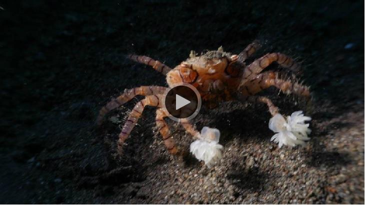 pom-pom crab