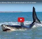 Beached White Shark