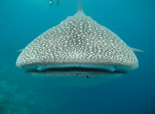 Whale Shark Swallows Diver