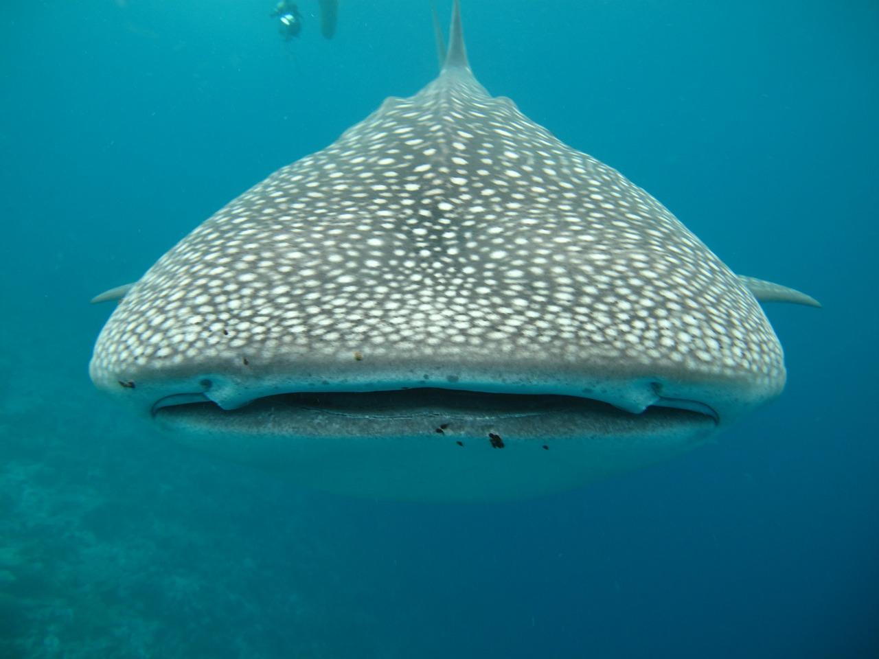 Whale Shark Swallows Diver