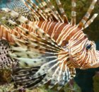 Solution For Invasive Lionfish