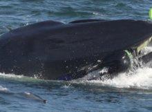 Whale Swallows Diver