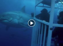 Cage Diving Great White Sharks Guadalupe