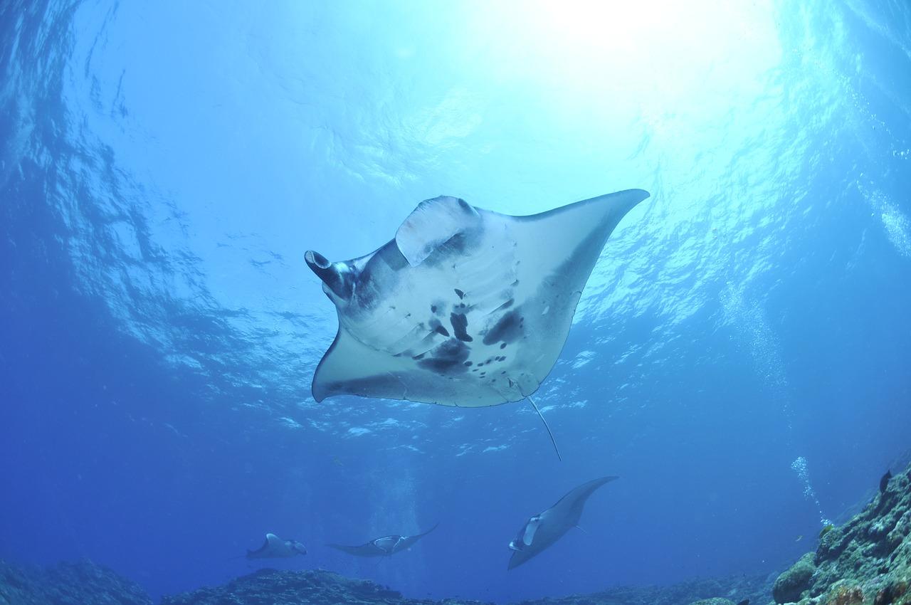 Socorro Island Manta Ray