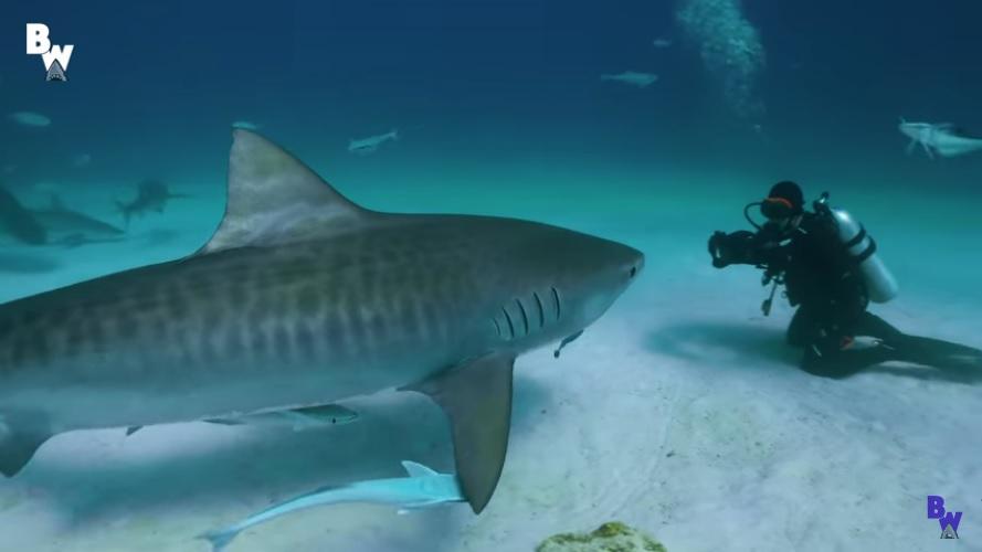Diving Bimini with Barracuda