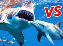 Wild Dolphins vs Sharks