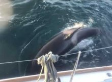 Orcas Attacking Boats