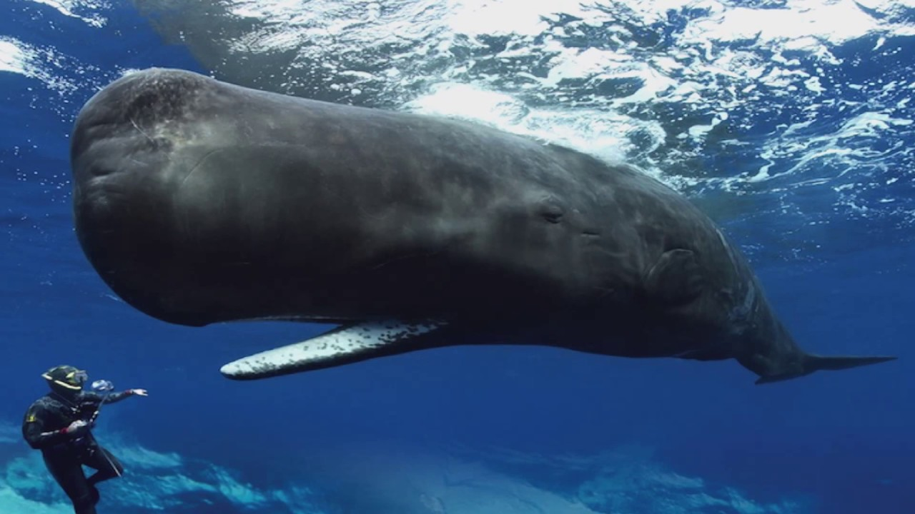 Diving With Sperm Whales