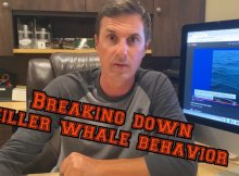 Orcas-Ramming Boats Explained