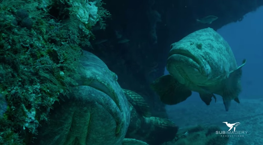 Giant Grouper