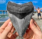 Megalodon Shark Tooth Diving