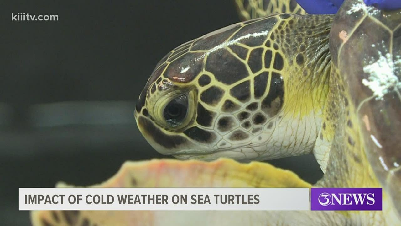 Cold Stunned Sea Turtles Rescue