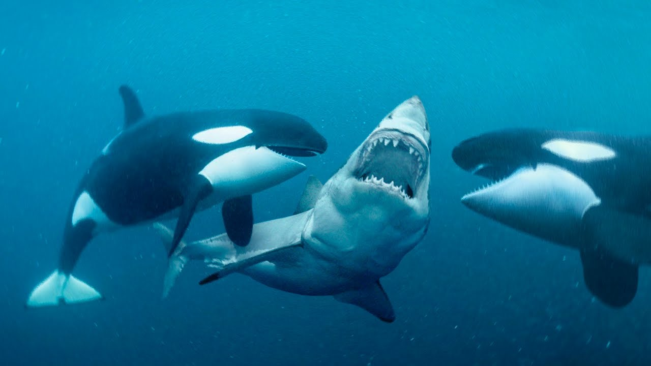 Orcas vs. killer Whales