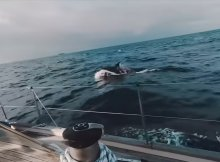 Orcas Attack Boats