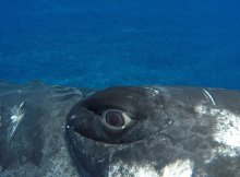 Diver Saved From A Huge Tiger Shark By A Whale