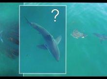 Great White Shark's Strange Behavior