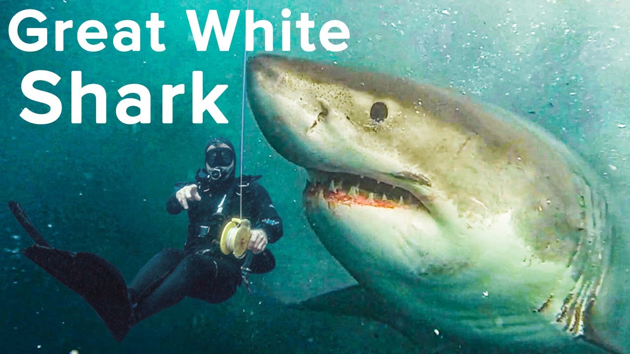 Great White Protects Diver While Feeding - Awesome Video Captured